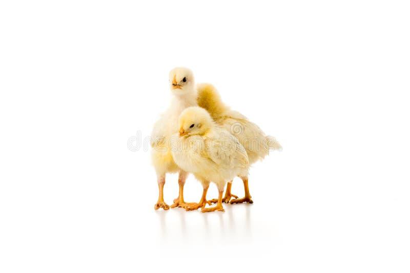 três galinhas pequenas adoráveis isoladas imagem de stock