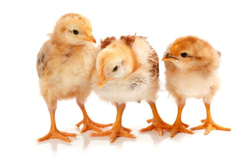 Três galinhas pequenas que estão no branco foto de stock