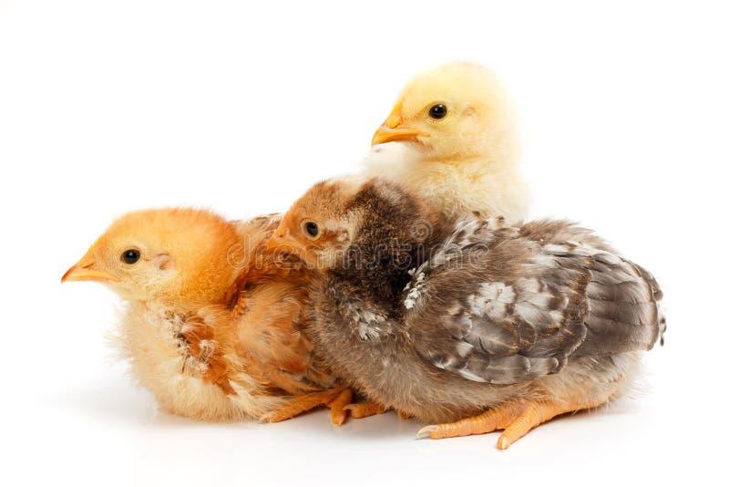 Três galinhas pequenas que estão no branco foto de stock royalty free