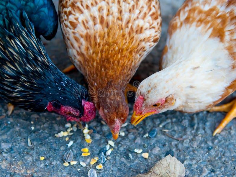 Três galinhas que comem o milho no pavimento foto de stock royalty free