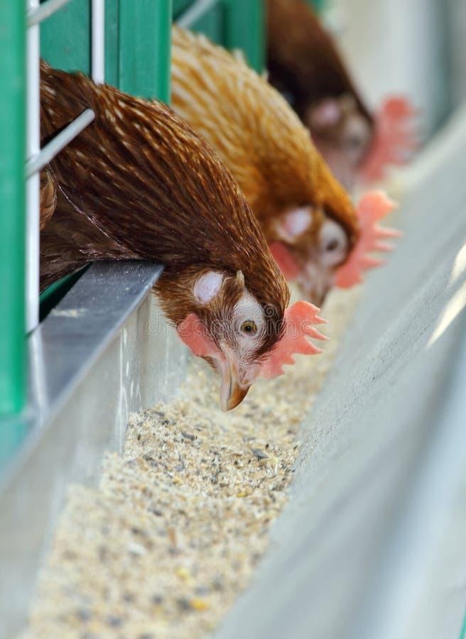 Três galinhas vermelhas na gaiola foto de stock royalty free