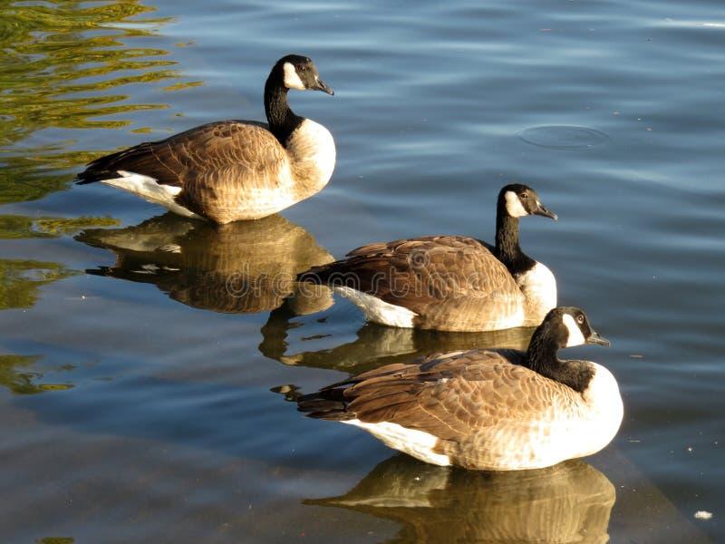 Três gansos canadenses fotografia de stock