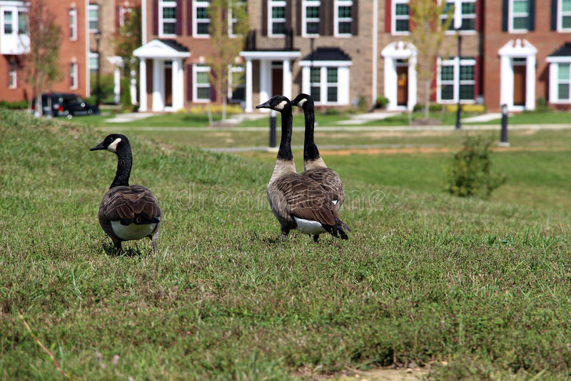 Três gansos canadenses arrogantes fotos de stock royalty free