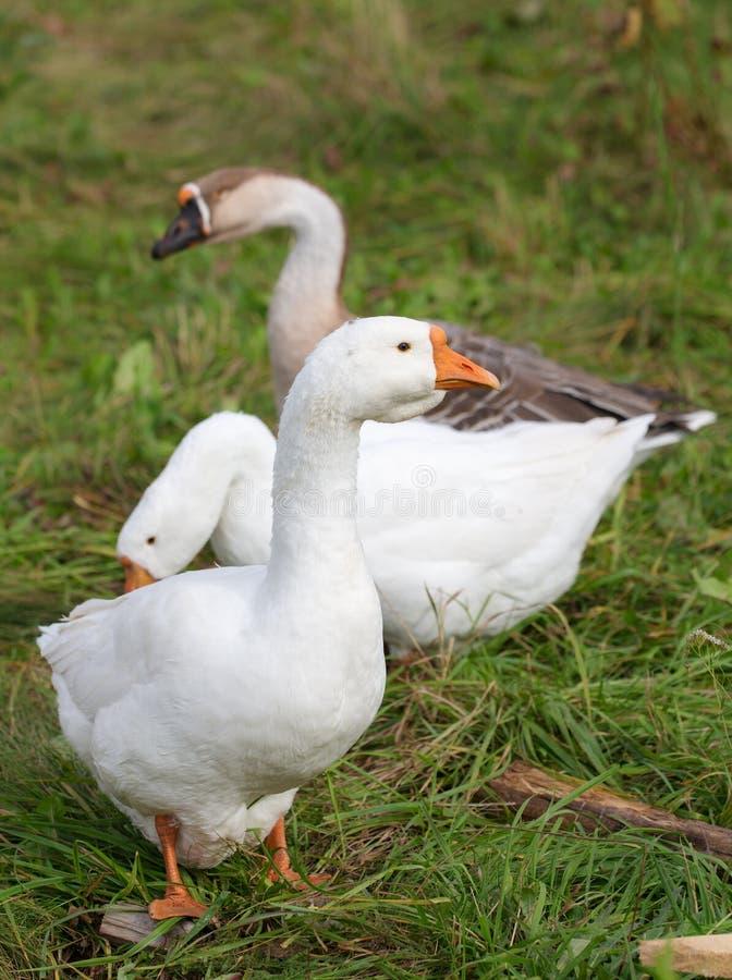 Três gansos na grama verde imagens de stock royalty free