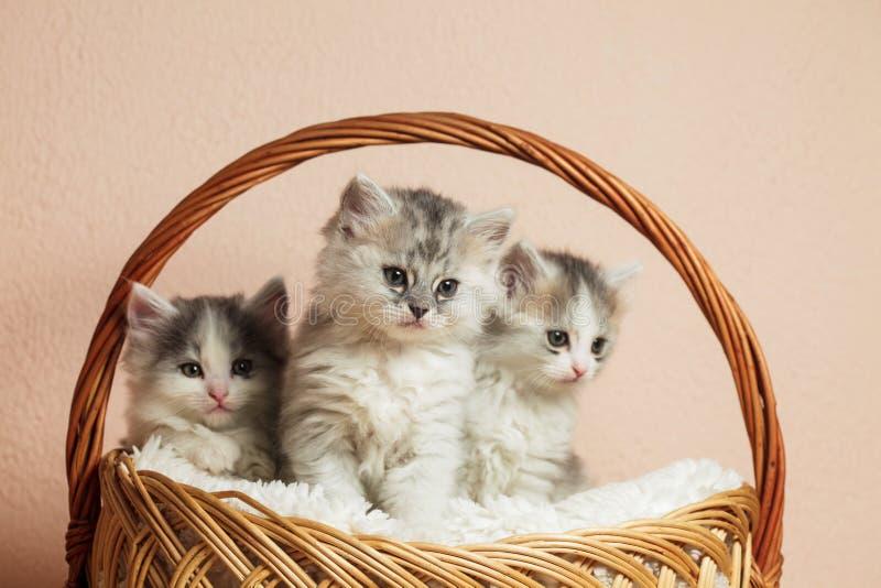 Três gatinhos cinzentos imagens de stock royalty free