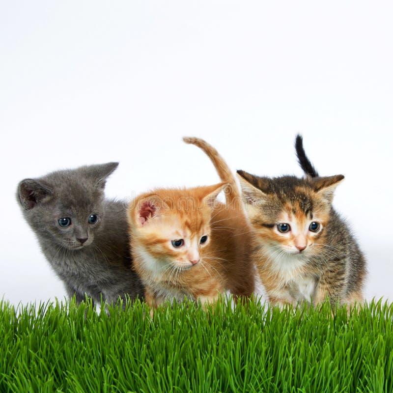Três gatinhos que estão atrás da grama alta com fora um branco imagem de stock royalty free