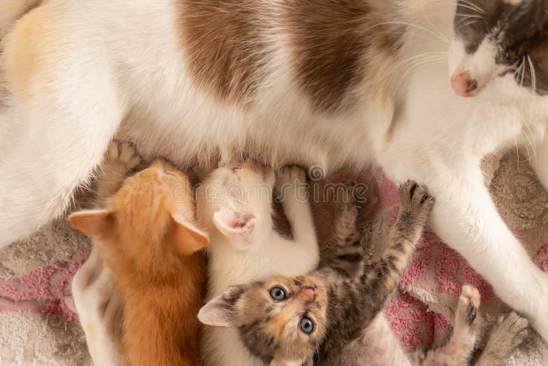 Três gatinhos tailandeses que comem o leite imagens de stock royalty free