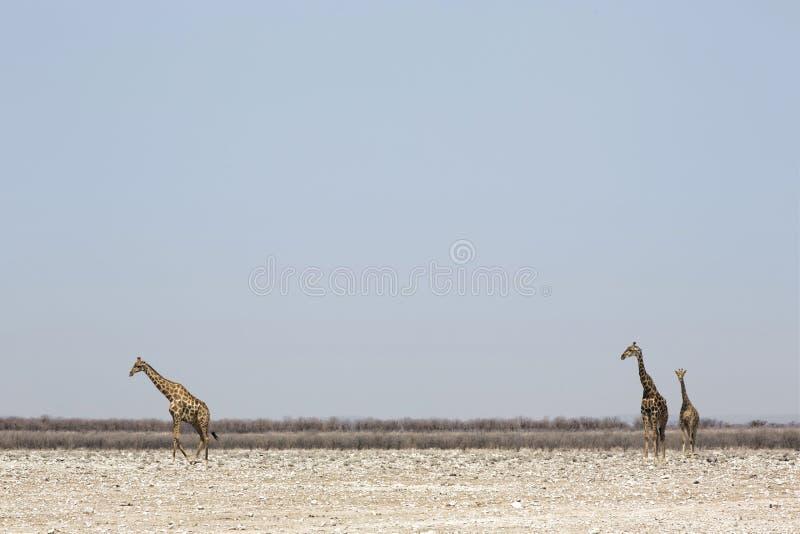 Três girafas que estão no savana africano do sul fotos de stock
