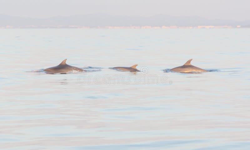 Três golfinhos fotos de stock royalty free