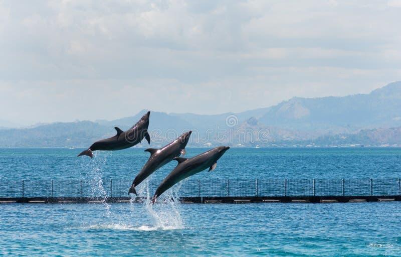 Três golfinhos acrobáticos do Garrafa-nariz imagens de stock