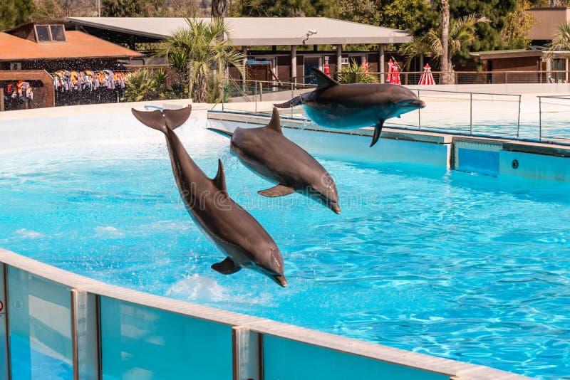 Três golfinhos bonitos que saltam em uma piscina imagens de stock