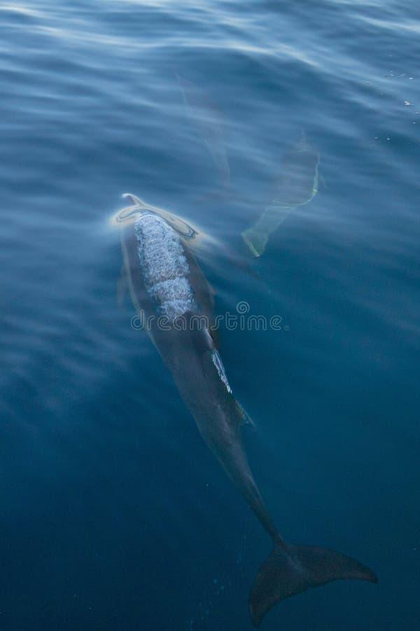 Três golfinhos bottlenosed comuns que nadam debaixo d'água perto de Santa Cruz Channel Island fora da costa central de Califórnia foto de stock royalty free