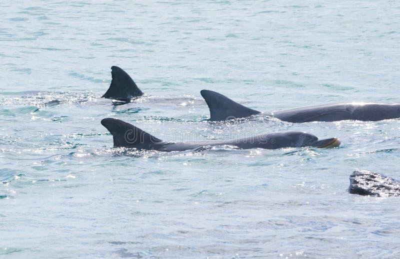 Três golfinhos de bottlenose que nadam na formação apertada fotografia de stock