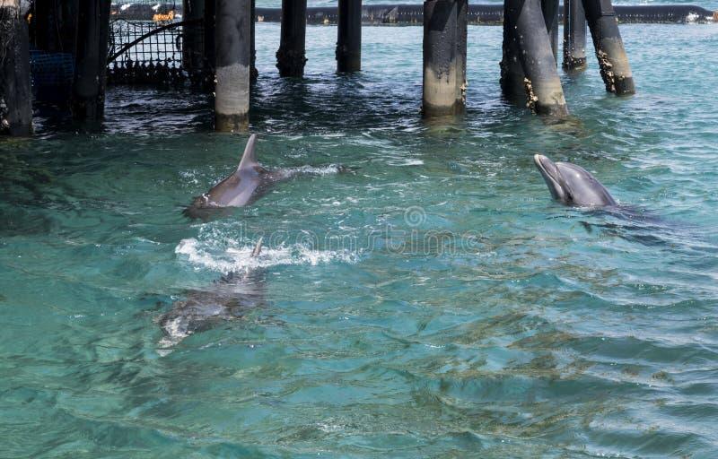 Três golfinhos nadadores na cidade eilat de Israel foto de stock
