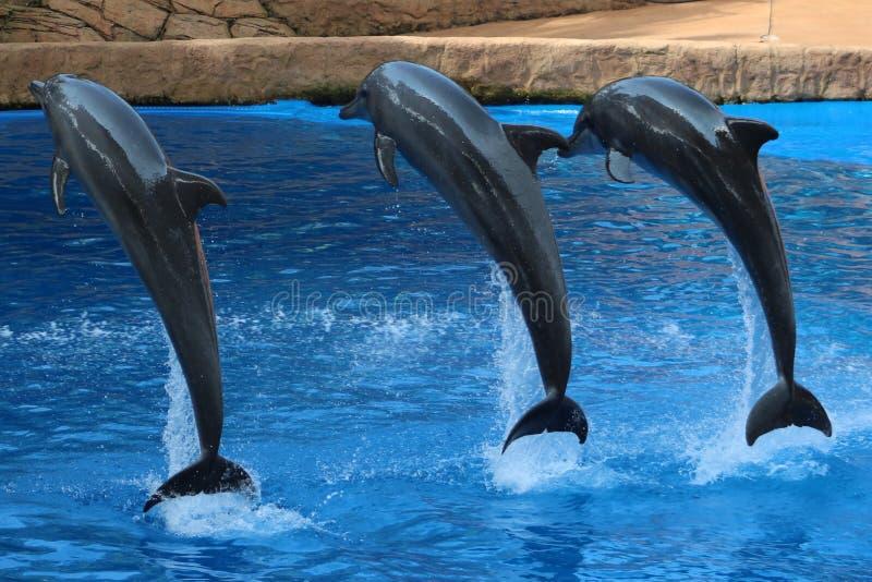 Três golfinhos que saltam no ar fotos de stock