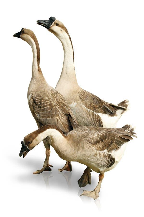 Três Gooses no fundo branco imagem de stock