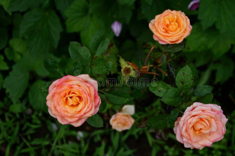 Três grandes flores rosas desdobradas de cor rosa macia nos arbustos rosas fotos de stock royalty free