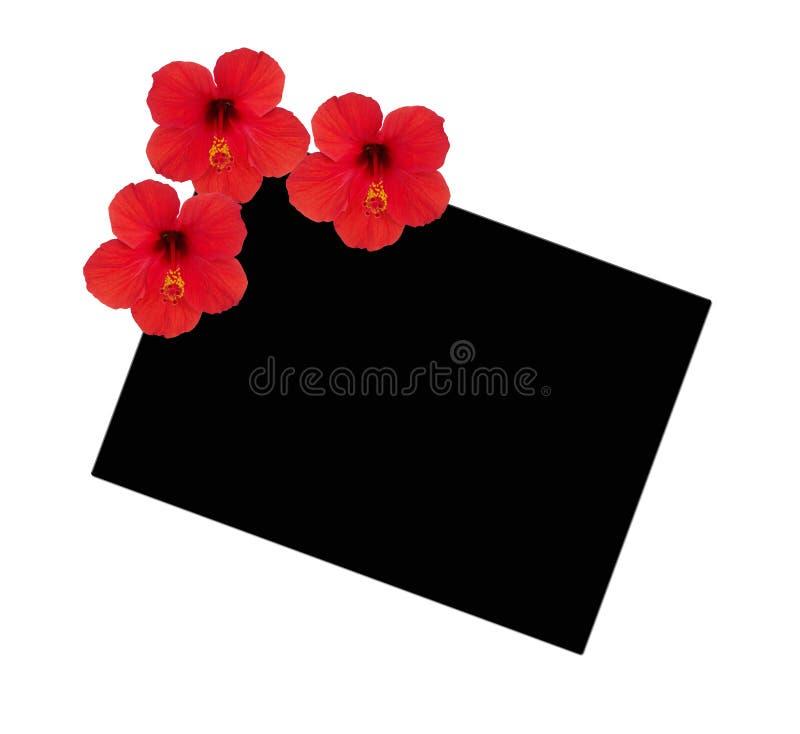 Três hibiscus das flores em um fundo de um quadrado preto imagem de stock royalty free