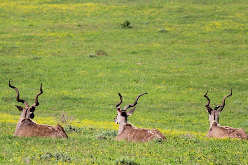 Três Kudus que descansa no campo Addo Elephant National Park, África do Sul fotos de stock