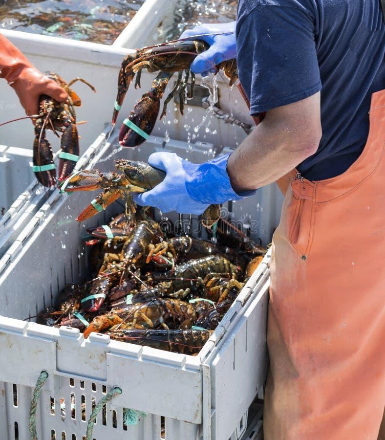Três lagostas vivas que estão sendo guardadas por pescadores imagens de stock