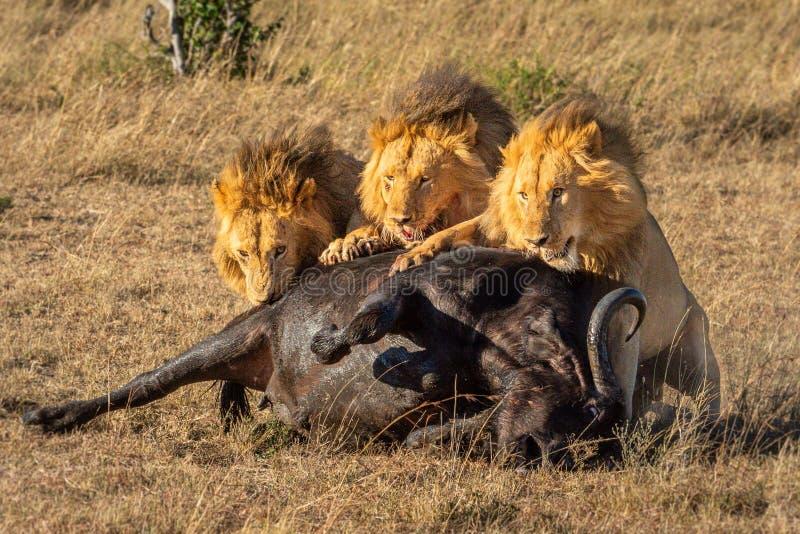 Três leões machos comendo carcaça de Cabo búfalo fotos de stock royalty free
