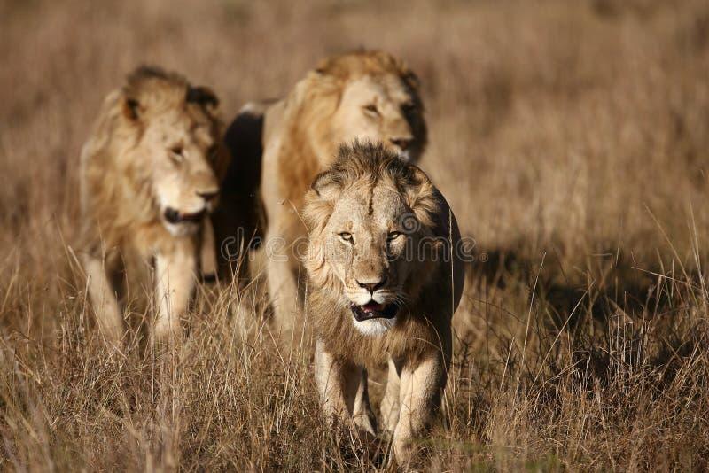 Três leões masculinos no Masai Mara fotos de stock