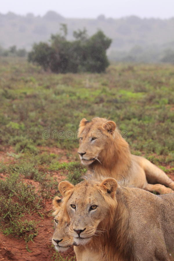 Três leões selvagens fotografia de stock royalty free