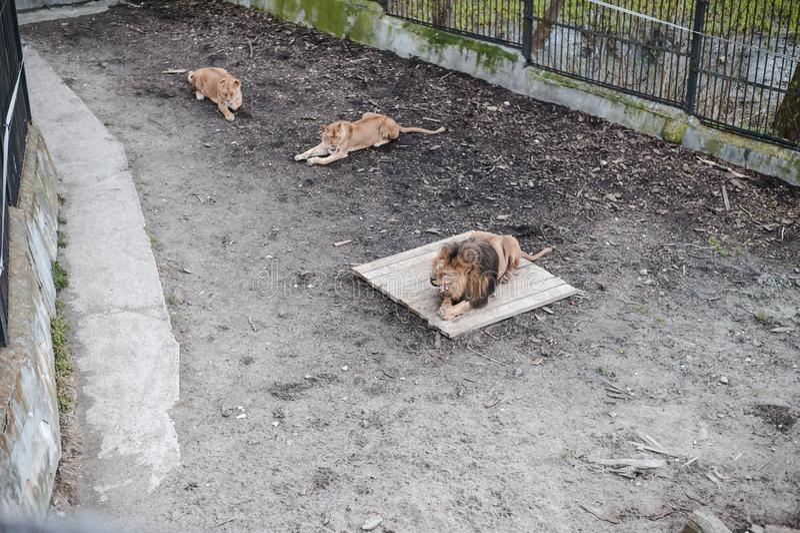 Três leões um leão masculino e duas leoas em um jardim zoológico imagem de stock