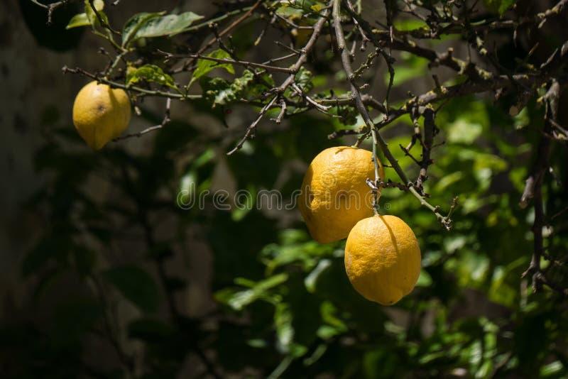 Três limões amarelos maduros em uma árvore de limão no Algarve, Portugal do sul imagens de stock royalty free