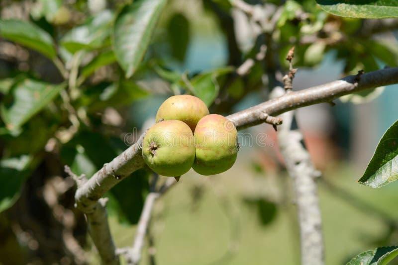 Três maçãs pequenas que crescem na árvore foto de stock