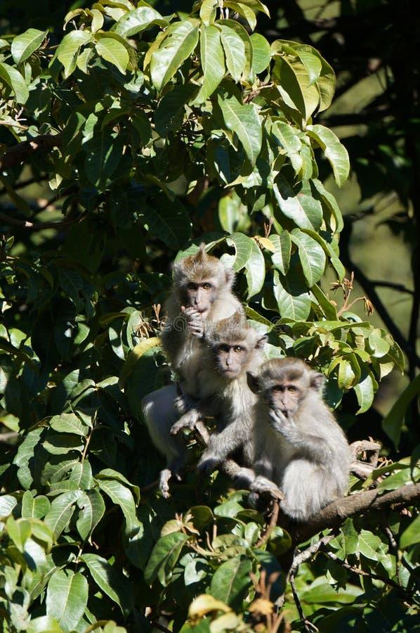 Três macacos imagem de stock royalty free