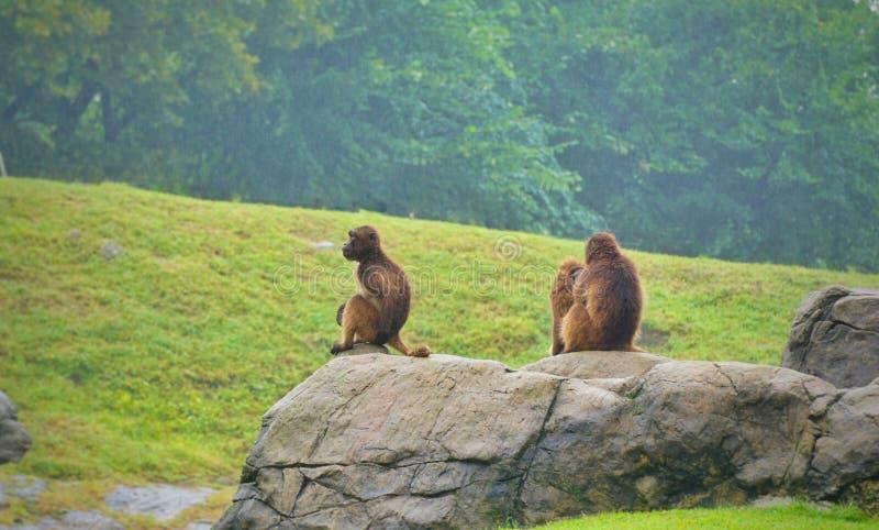 Três macacos pequenos que sentam-se na pedra fotografia de stock