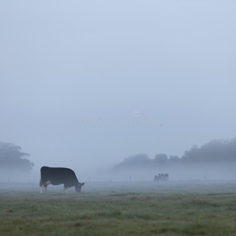 Três mancharam vacas cedo em moring o prado enevoado no netherlan imagem de stock royalty free