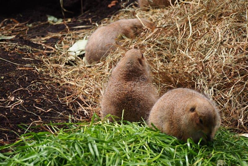 Três marmota imagem de stock royalty free
