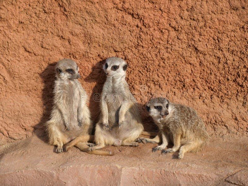 Três meerkats foto de stock