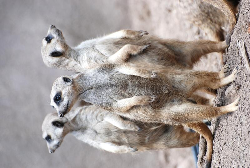 Três meerkats foto de stock royalty free