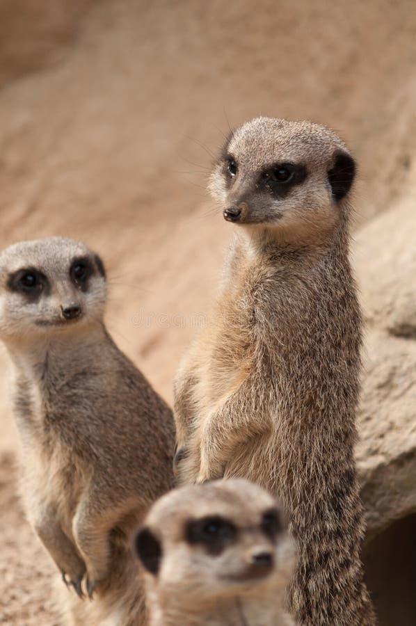 Três Meerkats na vigia foto de stock