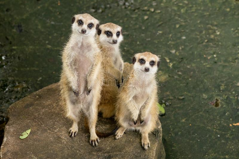 Três Meerkats que levanta-se e que senta na pedra um tipo de mangusto um sul pequeno - animal africano com uma cauda longa fotografia de stock