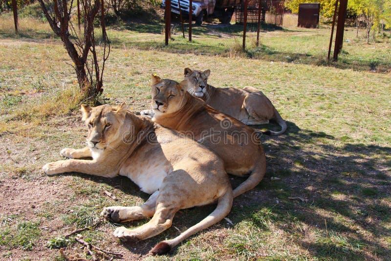 Três mentiras das leoas no parque do safari foto de stock