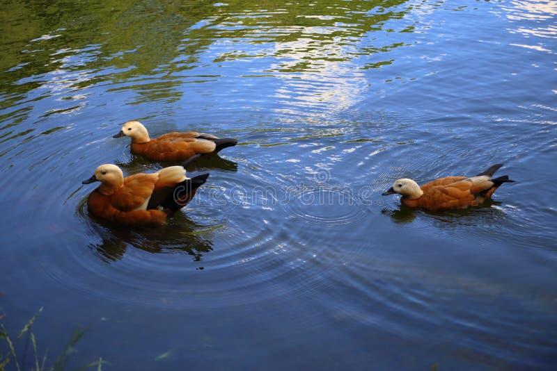 Três nadadas corados dos shelducks no lago imagens de stock
