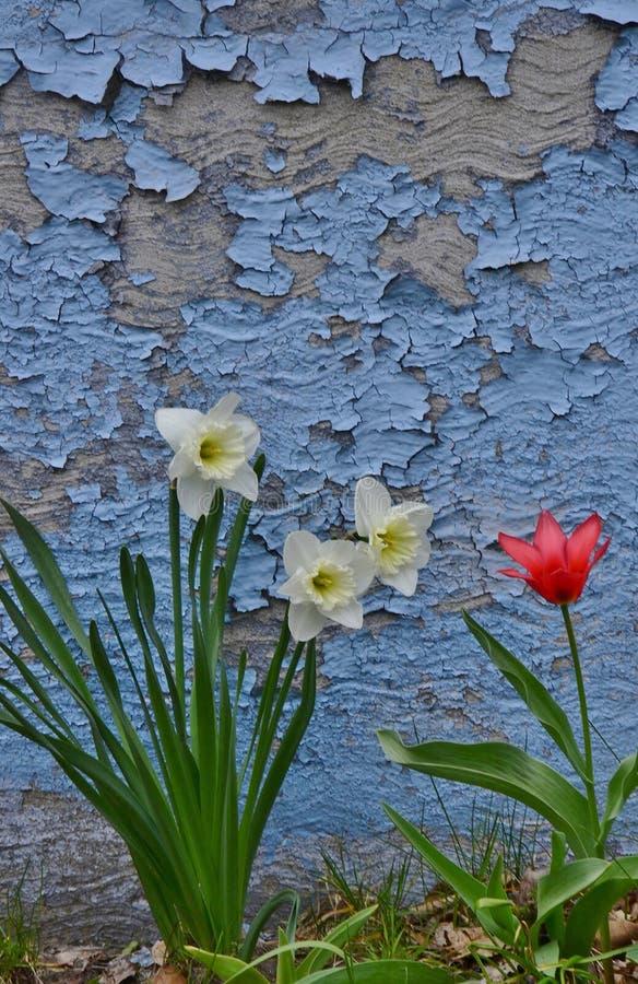 Três narcisos amarelos brancos uma parede vermelha da casca da tulipa foto de stock