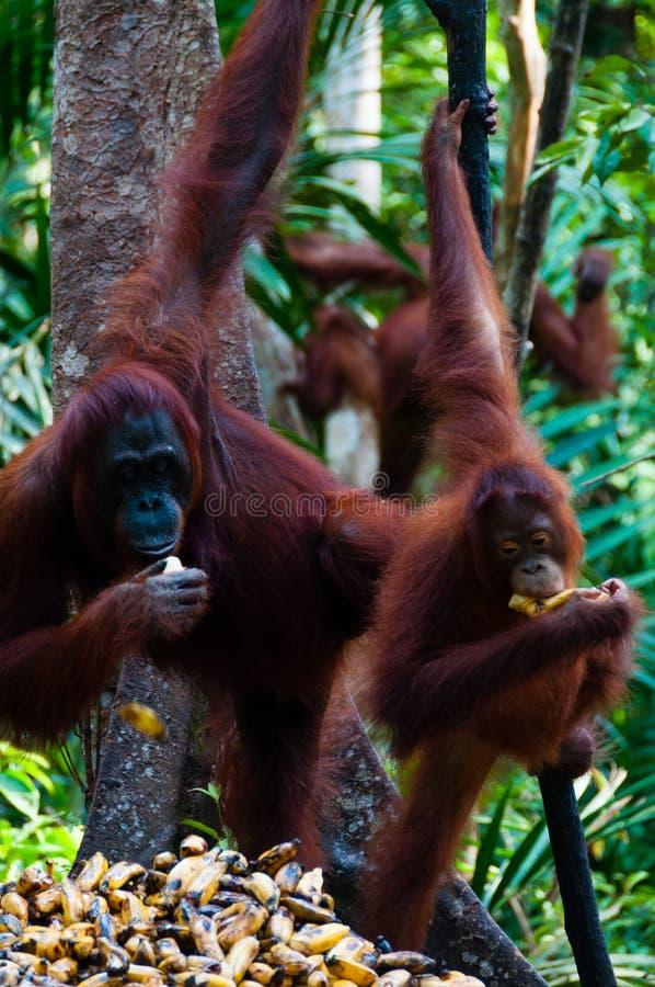 Três orangotango Utan que pendura em uma árvore na selva imagens de stock