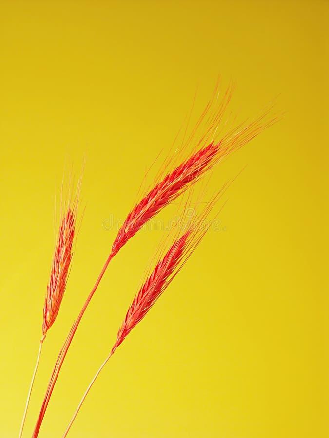 Três orelhas vermelhas do trigo imagens de stock
