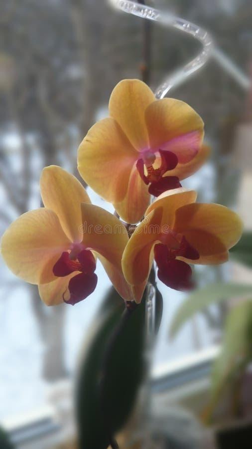 Três orquídeas amarelas fotos de stock royalty free