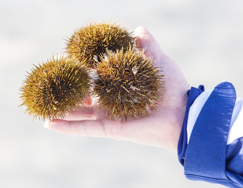 Três ouriços-do-mar disponível no inverno fotografia de stock