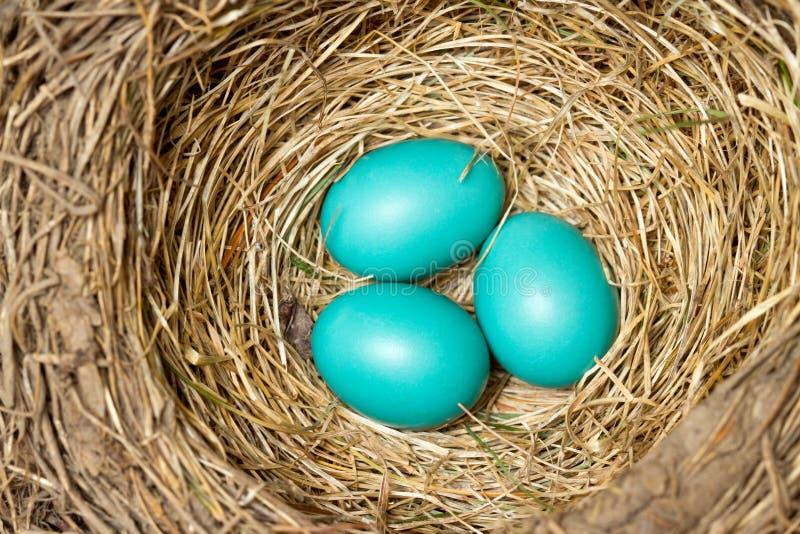 Três ovos azuis em um ninho do pássaro imagem de stock royalty free