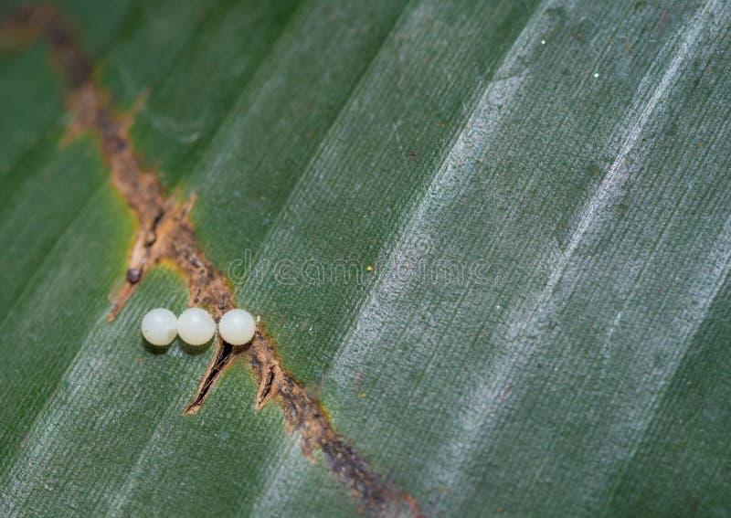 Três ovos da borboleta de monarca em uma folha imagem de stock royalty free