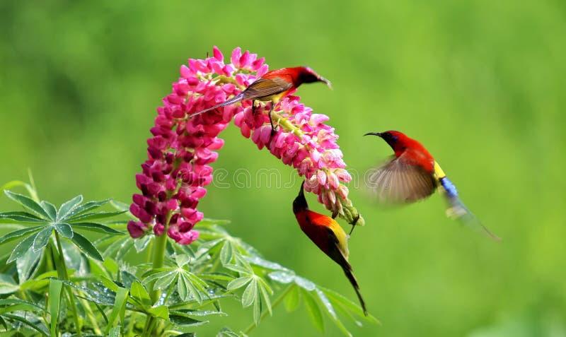 Três pássaros bonitos jogam o aroun a flor imagens de stock royalty free