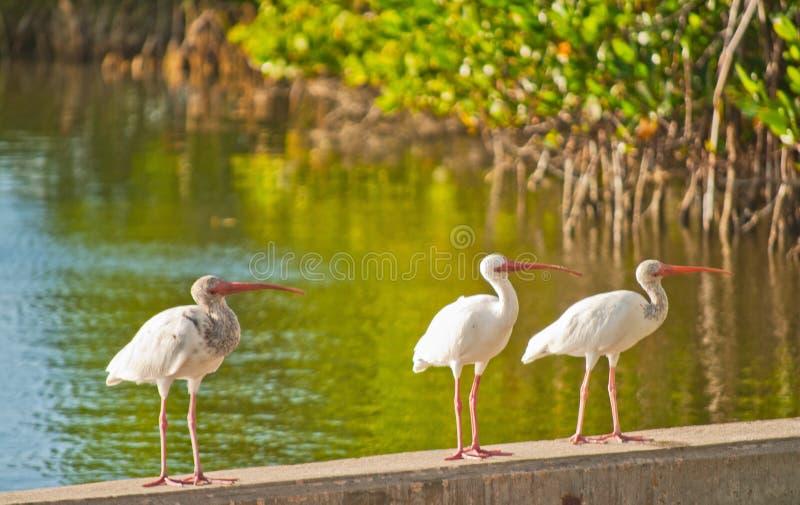 Três pássaros brancos pequenos dos íbis de florida fotografia de stock