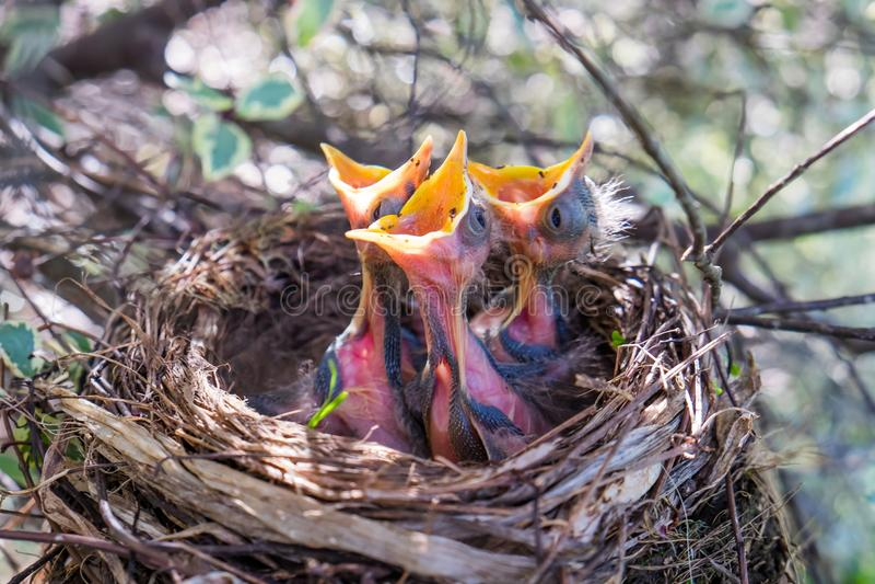 Três pássaros de bebê em um ninho com a espera aberta larga dos bicos a ser fe foto de stock